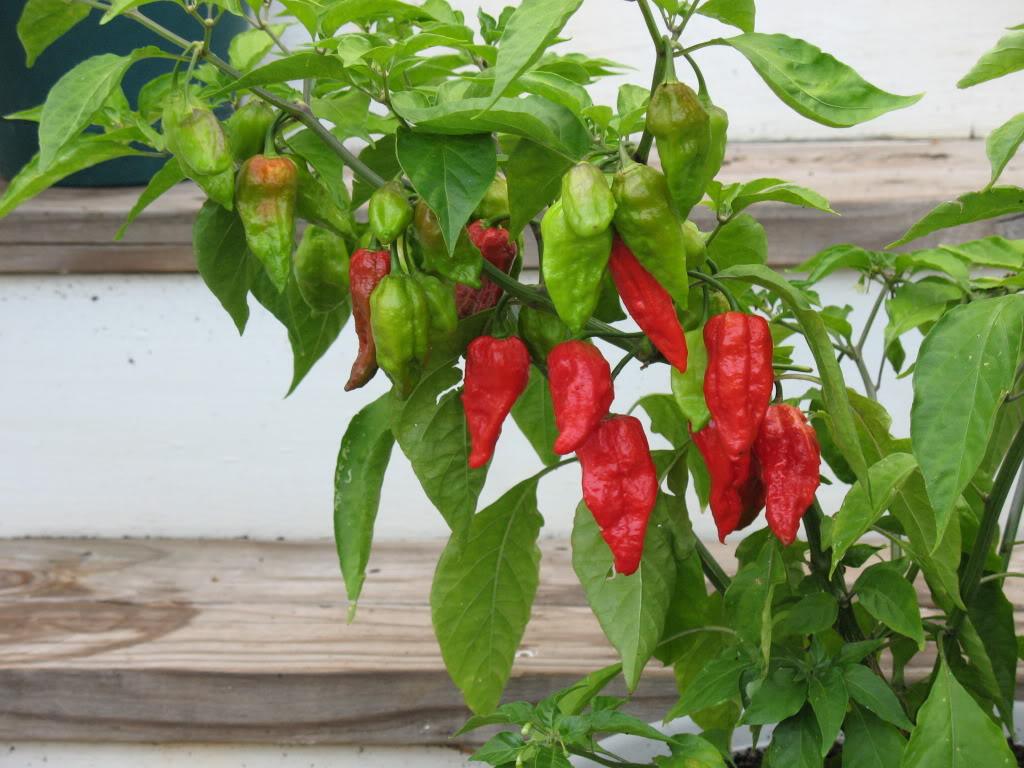 Naga Morich chilli