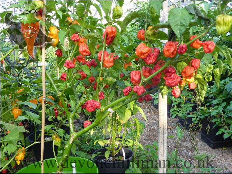 7 pot bubblegum chilli