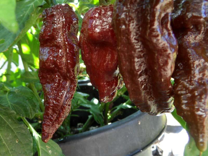 Black naga chilli