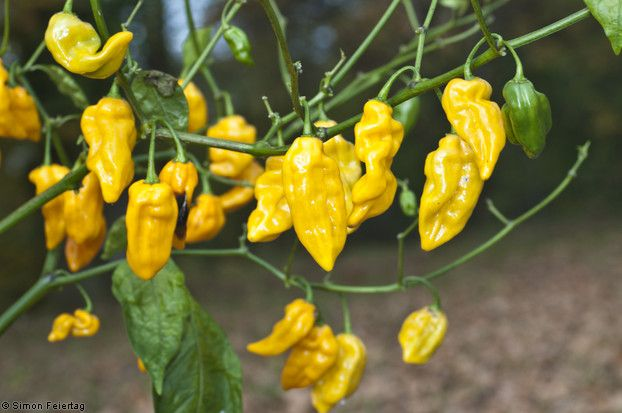 Datil Yellow Chillis