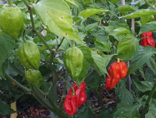 Naglah chilli