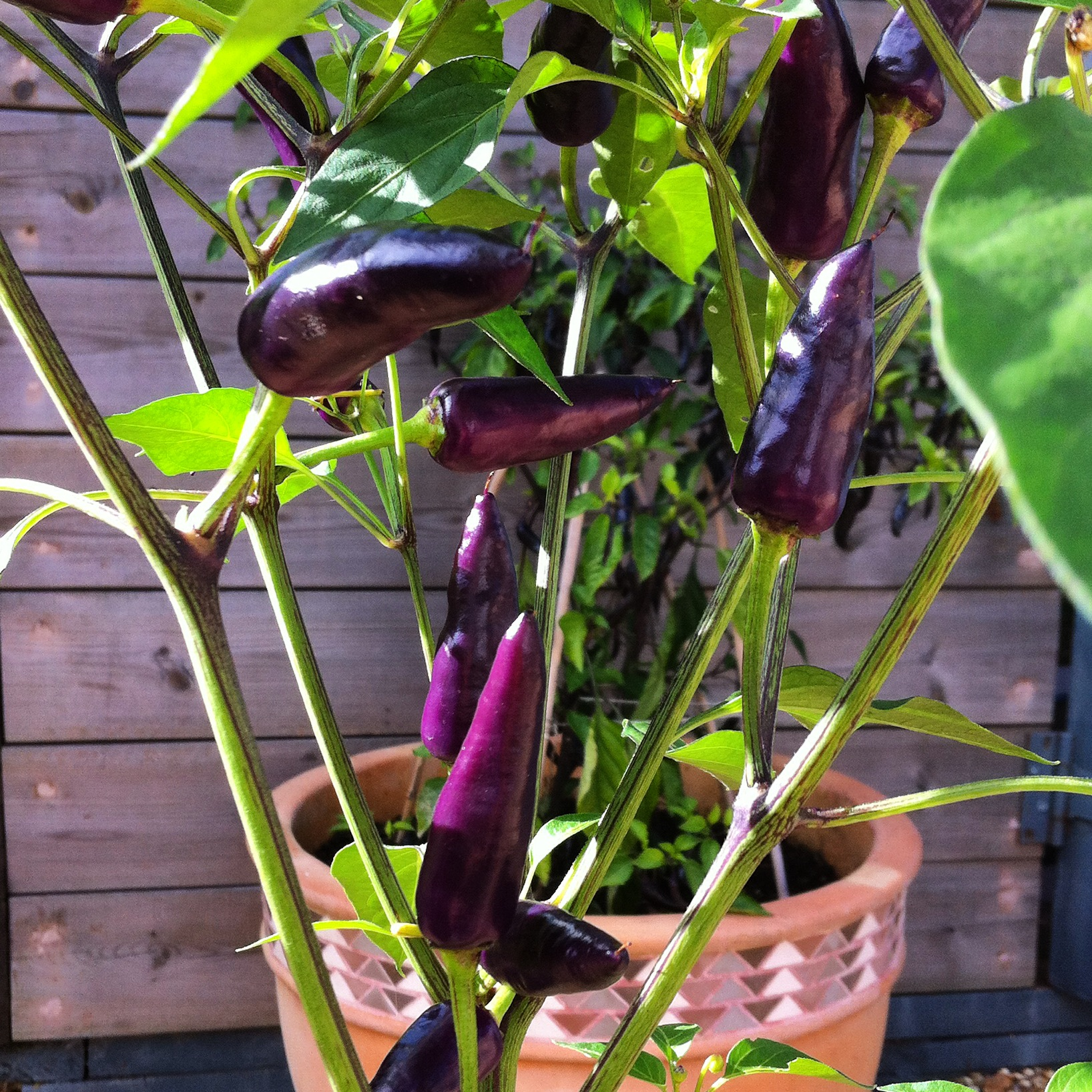 Purple Haze Chillis