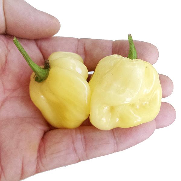 giant-white-habanero-